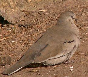 Colombe de la Paix dans PIGEON - COLOMBE picui-dove