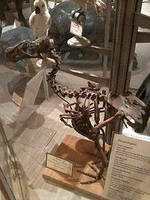 Extinction du Dronte (Pigeon) de Maurice dans PIGEON - COLOMBE squelette_dodo_-_museum_dhistoire_naturelle_de_la_rochelle