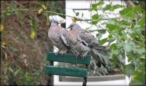 Les pigeons ramiers sont monogames. dans PIGEON - COLOMBE telechargement-31