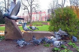 Des pigeons physionomistes dans PIGEON - COLOMBE telechargement-5