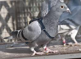 Le pigeon, messager depuis toujours dans PIGEON - COLOMBE telechargement-51