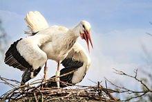 la cigogne , UN OISEAU SANS VOIX dans CIGOGNE 220px-ciconia_ciconia_-_courtship_display