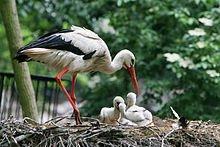 Cigognes et nouveau-nés dans CIGOGNE 220px-ciconia_ciconia_-artis_zoo_netherlands_-parent_and_chicks-8a-1