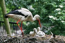 les cigogneaux dans CIGOGNE 220px-ciconia_ciconia_-artis_zoo_netherlands_-parent_and_chicks-8a