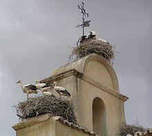 Habitat de la Cigogne dans CIGOGNE 220px-ciconia_ciconia_-iglesia_de_san_isidoro_ciguenas_en_el_campanario_salamanca_spain-18june20061