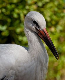 Milieu naturel et écologie de la Cigogne dans CIGOGNE 220px-ciconia_ciconia_-vogelpark_avifauna_the_netherlands_-juvenile-8a