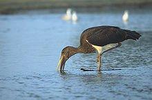 Cigogne noire dans CIGOGNE 220px-ciconia_nigra_5_young_marek_szczepanek