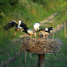 Le nid de la cigogne dans CIGOGNE 220px-gipe25_-_cigogne_et_cigogneaux_by-sa