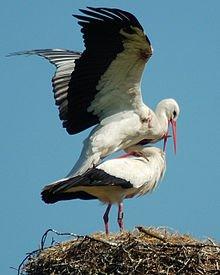Un brin de poésie sur la cigogne d'Alsace dans CIGOGNE 220px-stork_in_love