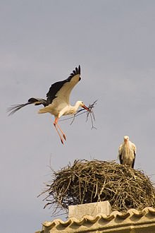 Protection de la Cigogne dans CIGOGNE 220px-storks_in_cerceda_community_of_madrid_spain_01