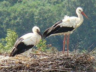 Répartition et migration de la Cigogne dans CIGOGNE 320px-white_stork-mindaugas_urbonas-1