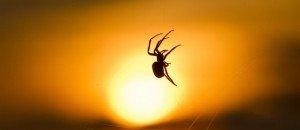 La Séduction de l'araignée  dans ARAIGNEE araignee-239959-jpg_131587-300x130