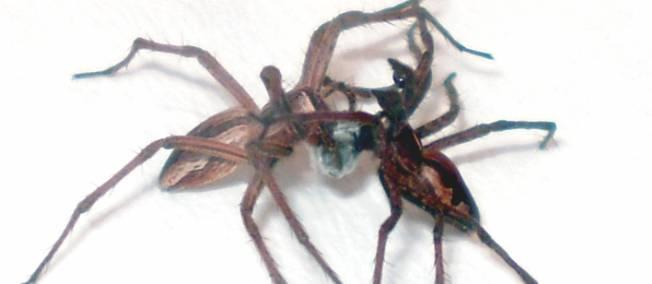 L'Araignée Pisaure et ses pratiques sexuelles dans ARAIGNEE cadeaux-araigne-435859-jpg_291896