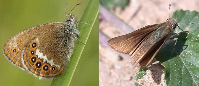 Seize papillons menacés de disparition sur le territoire français dans PAPILLON cid-db-ff-dde-531092-jpg_362343