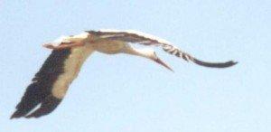 plumes de Cigogne dans CIGOGNE cig5r-300x146