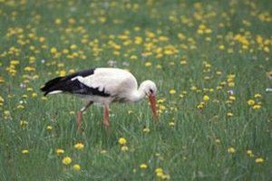 des réponses sur la Cigogne d'Alsace dans CIGOGNE cigogne-repas2_nico