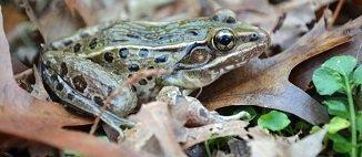 Une nouvelle espèce de grenouille découverte à... New York dans GRENOUILLE frog-nyc-h-530937-jpg_362196