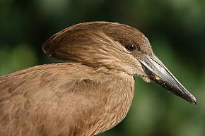 Groupes de Cigognes dans CIGOGNE hammerkopf2