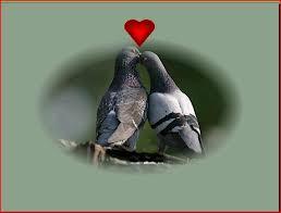 Cœur de pigeon dans PIGEON - COLOMBE images-16