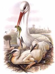 Cigogne blanche échassier dans CIGOGNE images-8