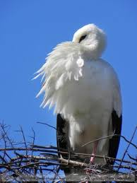 Plumage de Cigogne blanche dans CIGOGNE images