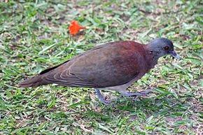Pigeon ou Tourterelle peinte dans PIGEON - COLOMBE malagasy_turtle_dove_-_streptopelia_picturata