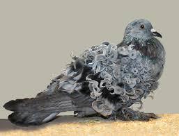 Pigeon, Oiseau de la famille des Columbidés. dans PIGEON - COLOMBE telechargement-12