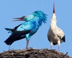 La cigogne bleue  dans CIGOGNE telechargement-16