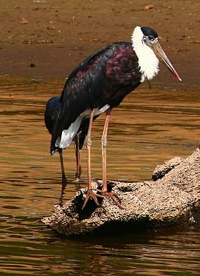 Cigogne épiscopale dans CIGOGNE white_necked_stork_ciconia_episcopus_21-mar-2007_7-37-51_am_21-mar-2007_7-37-52