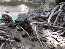 220px-American_Beavers_at_the_National_Zoo