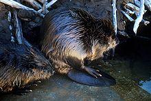 220px-Beaver_2