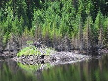 220px-Beaver_lodge_north_of_Saguenay,_Quebec_2005-07-19