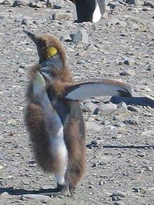 220px-Juvenile_Aptenodytes_patagonicus_moult