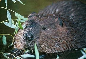 290px-Beaver