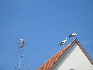 320px-Ciconia_ciconia_-Itzgrund,_Coburg,_Bavaria,_Germany_-roof-8