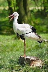 Cigognes, amies du laboureur dans CIGOGNE 320px-white_stork_weissstorch_ciconia_ciconia