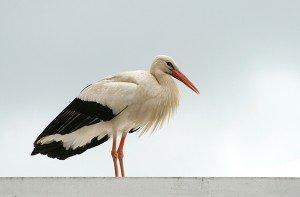 Cigognes de la Mythologie dans CIGOGNE a_white_stork_at_melrose_-_geograph.org_.uk_-_8541391-300x197