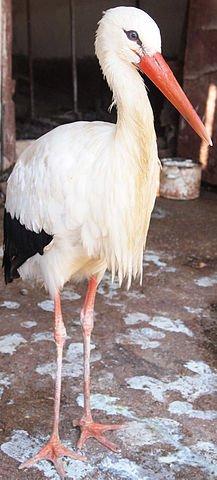 Histoire de la Cigogne dans CIGOGNE simferopol_zoo_-_bird3
