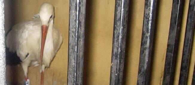 Une cigogne française bien particulière dans CIGOGNE sipa-ap-egypte-cigogne-espion-francaise-france-arm-1878611-jpg_1689807