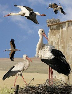Cigogne et spiritualité dans CIGOGNE white_stork_from_the_crossley_id_guide_britain_and_ireland-231x300