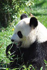 159px-Panda4_Beauval