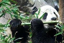 220px-Giant_Panda_Tai_Shan