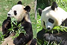 220px-Pandas_du_zoo_de_Beauval