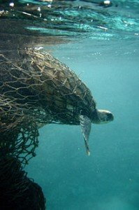 220px-Sea_turtle_entangled_in_a_ghost_net