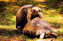 220px-Turtles_mating