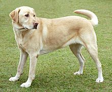 220px-YellowLabradorLooking_new