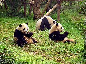 280px-Chengdu-pandas-d10