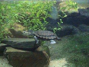 290px-Western_swamp_tortoise