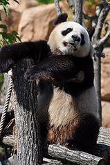 Panda3_Beauval