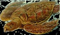 200px-Eretmochelys_imbricata_Haeckel